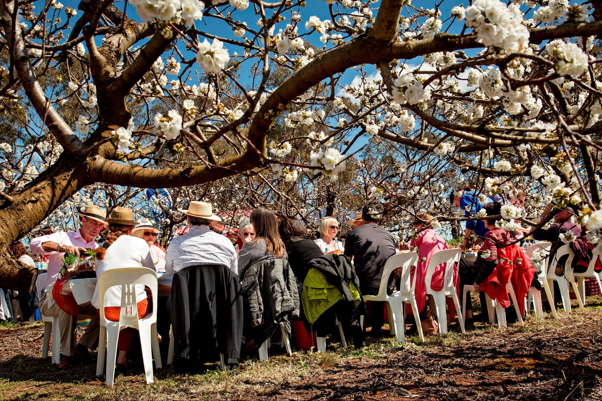 Young Cherry Blossom Long Lazy Lunch - Sunshine Coast Tourism