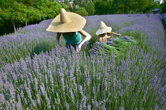 Lavandula Swiss Italian Farm - Sunshine Coast Tourism